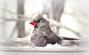 This cardinal is finding the heated birdbath just right.